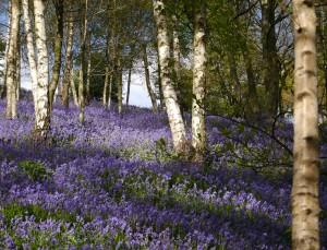 Bluebells Kent