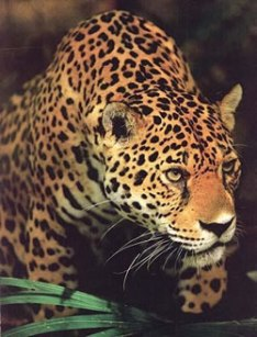 earth-centred-jaguar